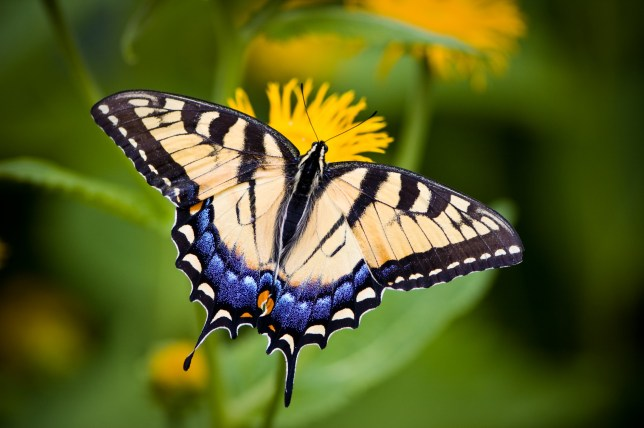 Tiger Swallowtail Butterfly (Papilio glaucus ) sitting on a yellow flower