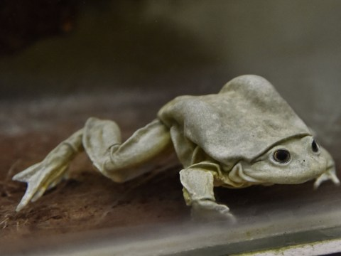 'Scrotum frog' facing extinction without multinational effort to save it