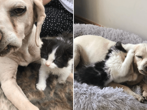Duke the rescue beagle rears tiny kitten Boris through lockdown after he was rejected by his mum
