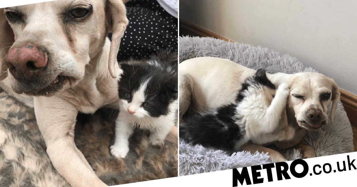 Duke the beagle rears kitten Boris after he was rejected by mum