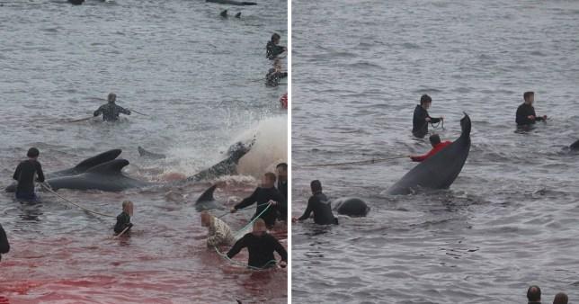 Environ 800 baleines et dauphins sont tués pour leur viande chaque été dans les îles Féroé