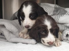 Puppies die after being abandoned in cardboard box in 30°C heat