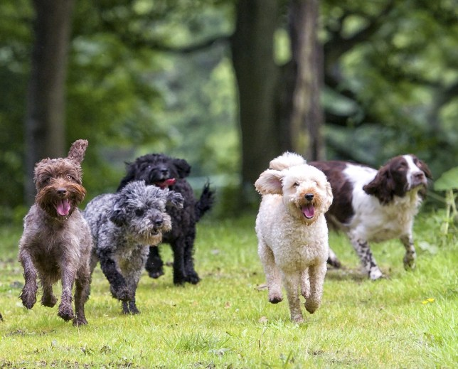 A bunch of dogs running the forest