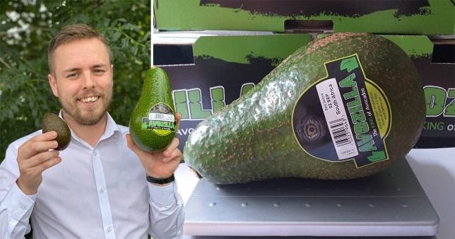 giant avocados, avozilla