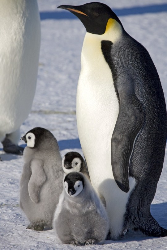 EMBARGOED FOR RELEASE: 4-AUG-2020 19:15 ET (4-AUG-2020 23:15 GMT/UTC) A new study using satellite mapping technology reveals there are nearly 20% more emperor penguin colonies in Antarctica than was previously thought. The results provide an important benchmark for monitoring the impact of environmental change on the population of this iconic bird. See SWNS story SWNNpenguins. Reporting this week in the journal Remote Sensing in Ecology and Conservation, the authors describe how they used images from the European Commission's Copernicus Sentinel-2 satellite mission to locate the birds. They found 11 new colonies, three of which were previously identified but never confirmed. That takes the global census to 61 colonies around the continent. Emperor penguins need sea ice to breed and are located in areas that are very difficult to study because they are remote and often inaccessible with temperatures as low as ?50?C (?58 degrees Fahrenheit). For the last 10 years, British Antarctic Survey (BAS) scientists have been looking for new colonies by searching for their guano stains on the ice.