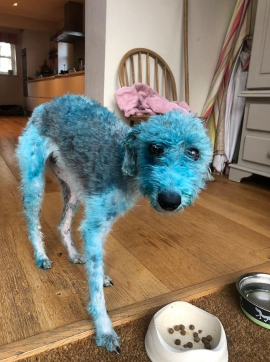 Fur-ocious! Embarrassed dog owner reveals how their family pet was left bright BLUE for four days after rolling on an acrylic painting Travel agent Sacha Barbato, 49, from Brandiston, Norfolk, revealed how two-year-old Bessie was left a violent shade of turquoise for almost four days The Bedlington-Whippet cross decided to roll on a canvas that had been left out to dry in the garden, resulting in the colourful new look Her owner, says the family got 'funny looks' for days while out walking Bessie, as the colour refused to fade - despite two washes