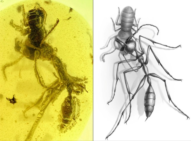 Researchers discover the fossil of a 'hell ant' preserved in amber. (Credits: NJIT / SWNS)