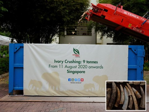 Singapore crushes £10,000,000 of ivory to stop traders before World Elephant Day