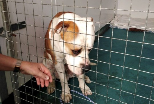 A dog who was mysteriously abandoned outside an animal centre appears to have been lost in translation - as the pooch only speaks GERMAN. See SWNS story SWLEdog. The American bulldog fondly named Hector was found tied to the gates of an RSPCA centre with cigarette burns on his body on August 1. CCTV footage revealed a black Mercedes with foreign number plates pulling up outside the centre. The driver is seen getting out and going to the rear of the car to get the dog before tying him up.