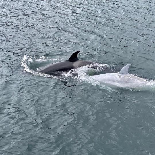 science 8635671 rare white orca https://www.instagram.com/p/CDwURLKjdcw/