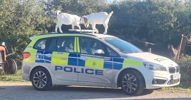 Police in Isle of Wight appeal for witnesses after goats damage car