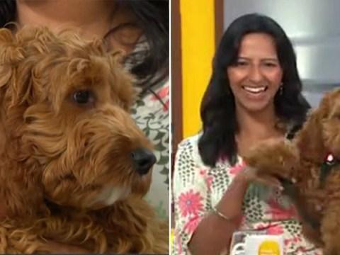 Good Morning Britain's Ranvir Singh accidentally reveals address as pet dog boycotts show
