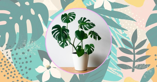 monstera swiss cheese plant houseplant in a pot