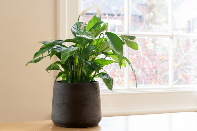 Peace lily plant in a bright home