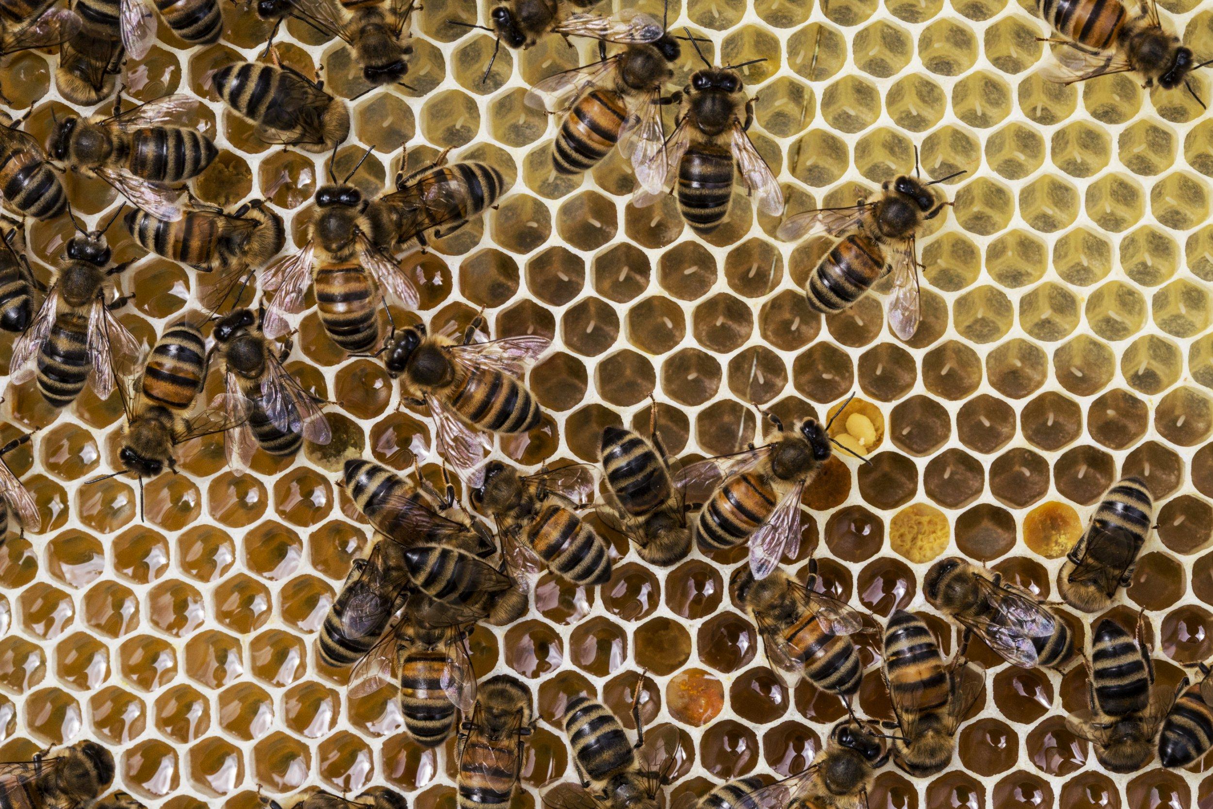 Le venin d'abeille tuerait les cellules cancéreuses — Cancer du sein