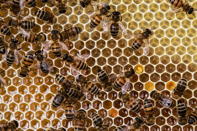Close up of bees and honeycomb in wooden beehive.