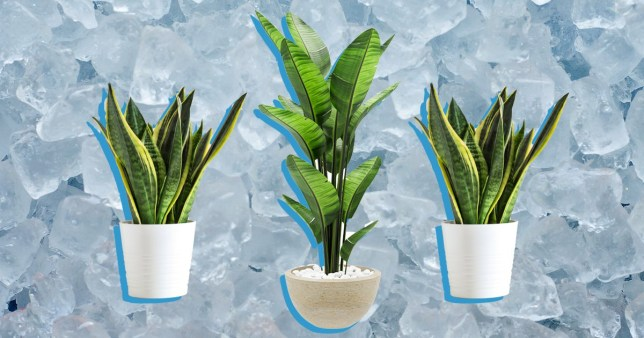 Should you water your plants with ice cubes?