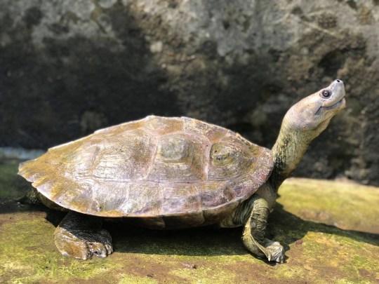 Réalisation de la conservation de la tortue couverte birmane au Myanmar