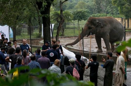 Kaavan l'éléphant, qui est transféré d'un terrible zoo d'Islamabad, au Pakistan, après une campagne menée par des militants des droits des animaux
