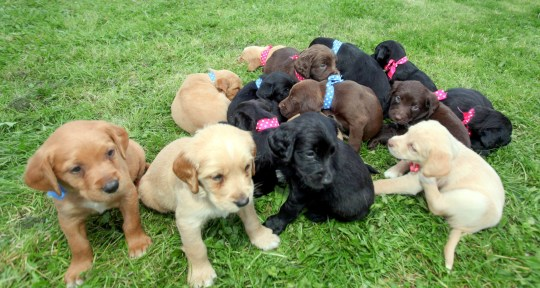 Mary Killing's giant litter of puppies