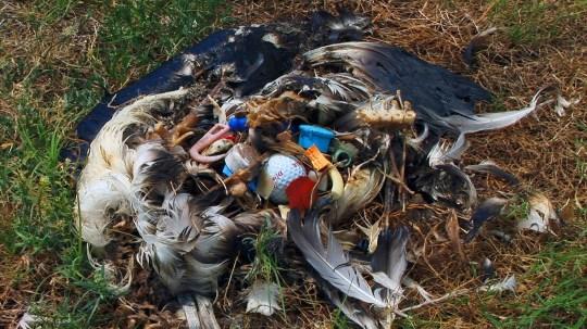 Une carcasse d'albatros de Laysan (Diomedea immutabilis) avec des débris de plastique, nourris par erreur aux poussins par les parents.