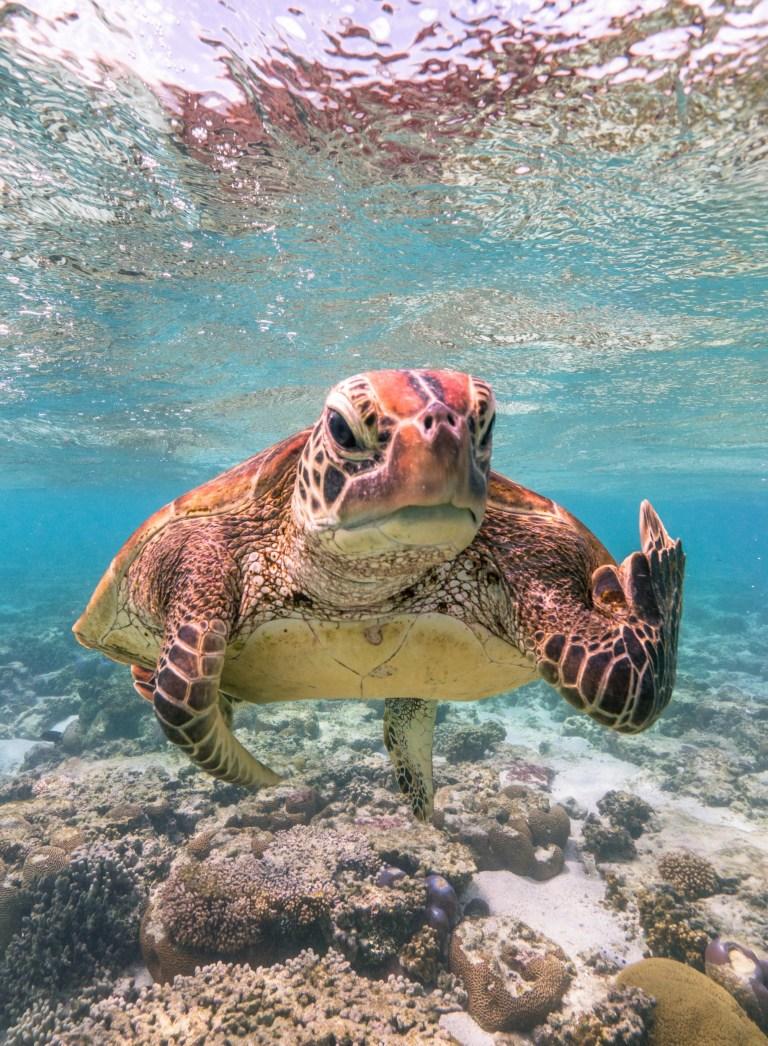 Une tortue nageant dans des eaux bleues claires flotte juste au-dessus du fond marin