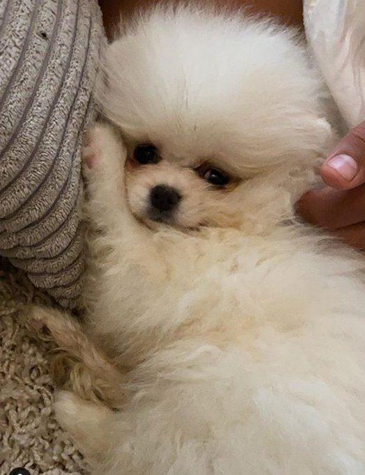 Sad Pomeranian