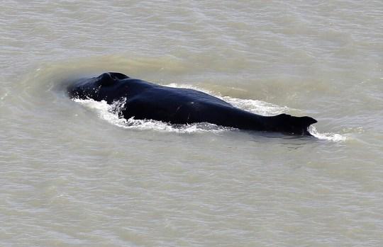 Une baleine à bosse nage dans la rivière East Alligator dans le parc national de Kakadu dans le Territoire du Nord de l'Australie