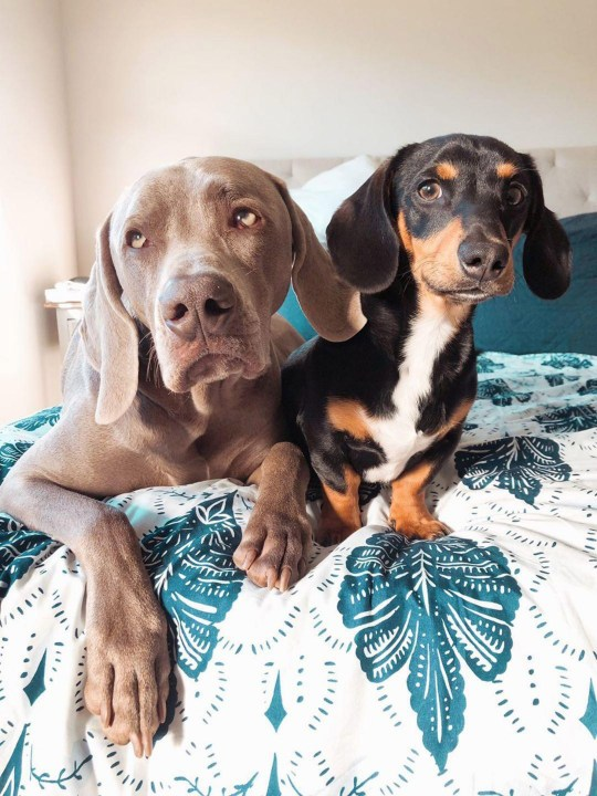 Two dogs sat together on a bed with a flowery bedspread.