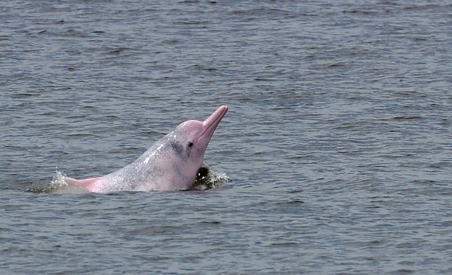 Indo-Pacific humpback dolphin, nicknamed the pink dolphin, swims in waters off the coast of Hong Kong