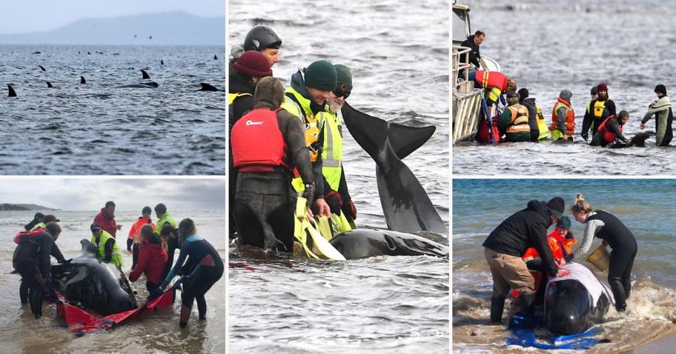 450 pilot whales stranded in Tasmania