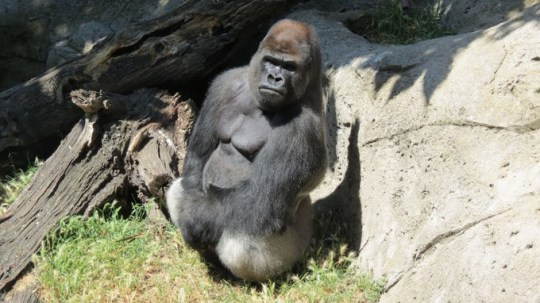 Female zoo keeper, 49, seriously injured after being attacked by 29-year-old gorilla raised from birth