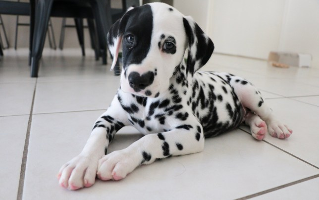 Rorschach, an adorable dalmatian with a heart-shaped spot on his nose is training to be an assistance dog for his owner's young autistic son.