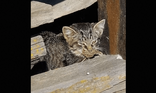 Biscuit the kitten with mouth glued shut