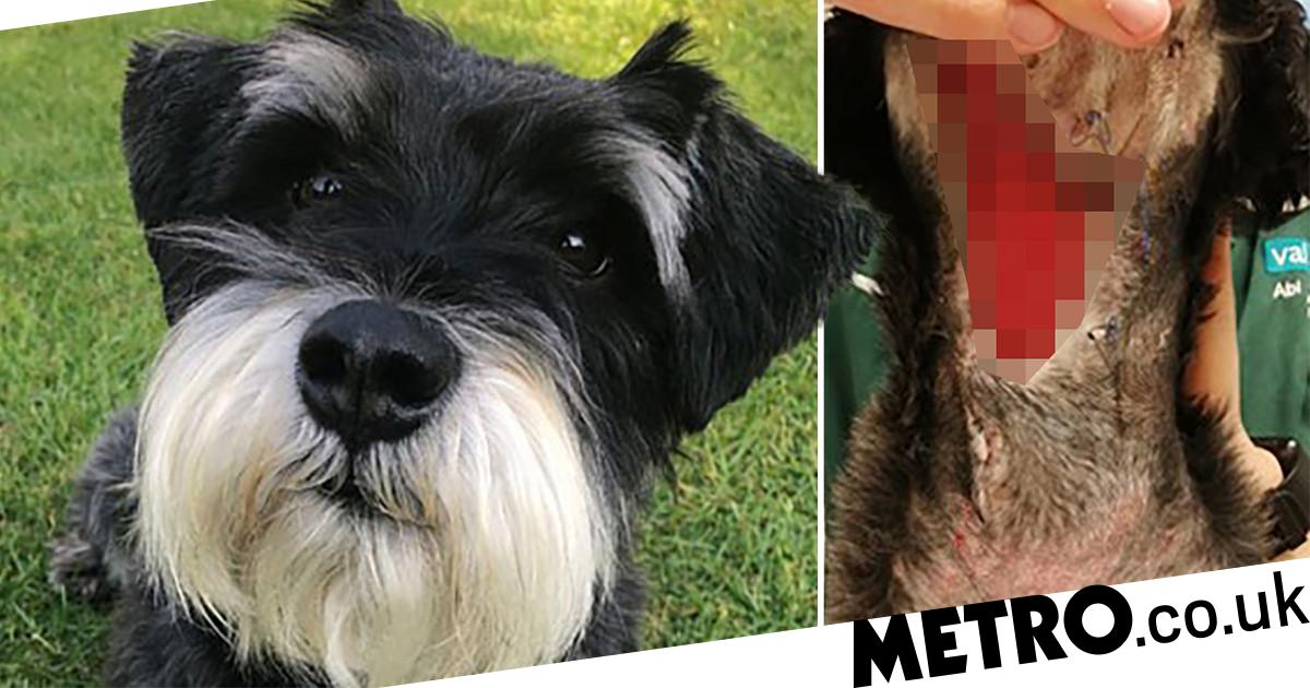 Vets warn owners as dog fights 'biggest wound they'd ever seen' after adder bite