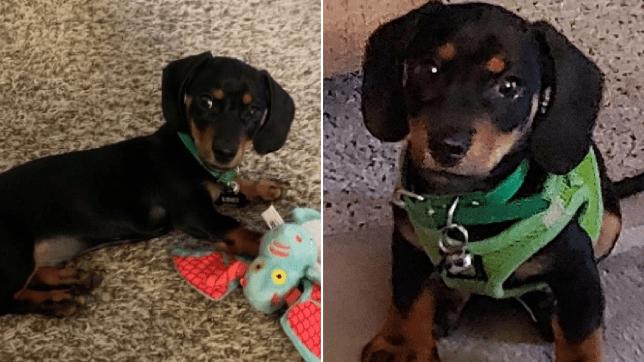 Loki the puppy