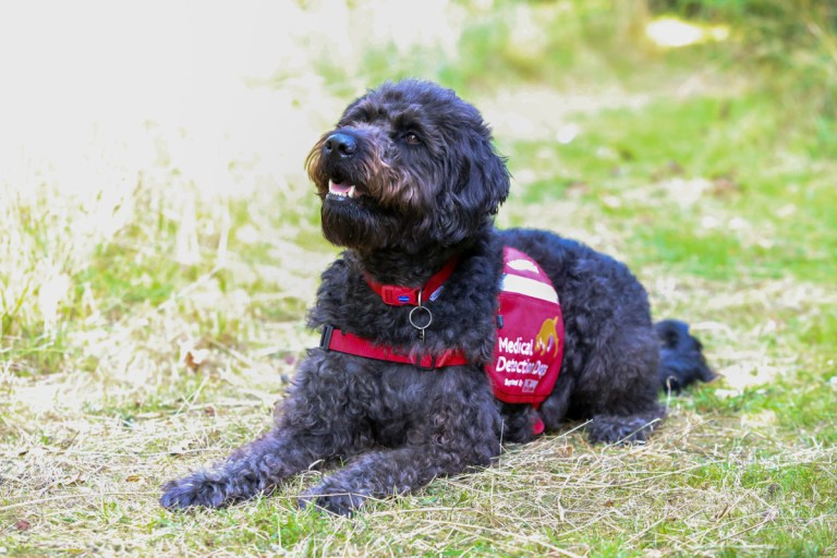 Labradoodle Maple, who was withdrawn as a guide dog but has been enlisted onto Medical Detection Dog's team of elite Covid-19 detection dogs