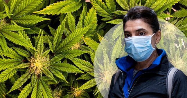 Cannabis could potentially be used to treat severe complications brought on by coronavirus.