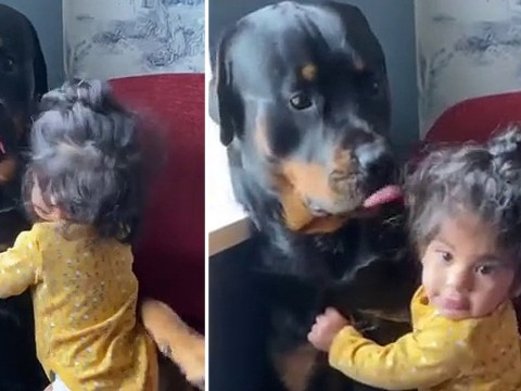 Mum's clip of baby girl cuddling giant Rottweiler goes viral