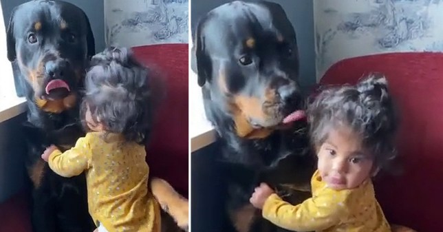 A baby girl cuddles the family Rottweiler in a video posted on Instagram by her mother (Picture: @vanessa___fernandes__ )