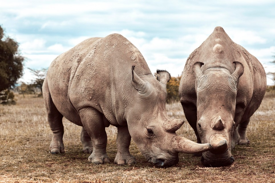 Seven Worlds, One Planet showed a Northern white rhinoceros on the very brink of extinction.