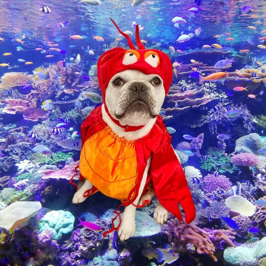 Toad the dog as sebastian from the little mermaid