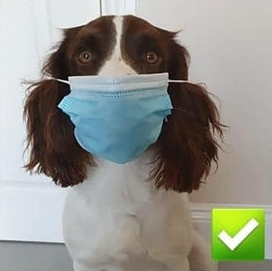 A loveable spaniel is spread the mask message - by showing the right and wrong ways to wear a face covering.