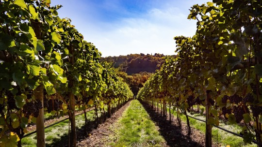 Vines at Huxbear Vineyard
