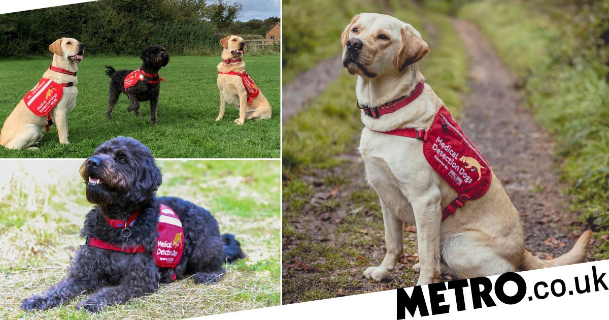 Guide dogs retrained to join elite coronavirus detection team