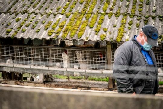 epa08732605 Minkfarmer Thorbjoern Jepsen dans son minkfarm alors que la police danoise utilise la force pour entrer dans un minkfarm à Gjoel, Danemark, 10 octobre 2020. Environ 100.000 visons doivent être abattus dans diverses fermes au Danemark en raison de la contamination par le coronavirus covid-19.  Le fermier Thorbjoern Jepsen a refusé de laisser la police entrer sur sa propriété et ils ont donc coupé la serrure et ont forcé leur entrée. EPA / MADS CLAUS RASMUSSEN DENMARK OUT