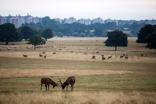 Deer in Richmond Park, London