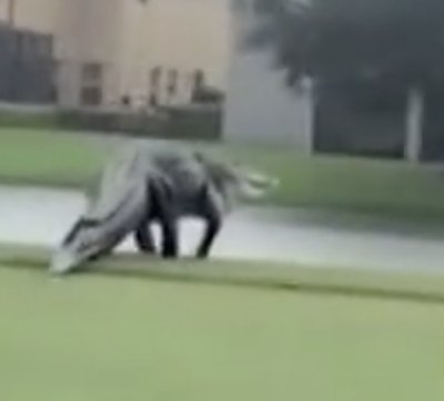 The alligator was seen at a golf course in Florida