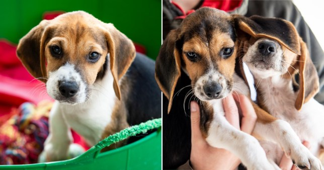 Beagle puppies that were found in the back of a van in London as incidents of puppy smuggling rise