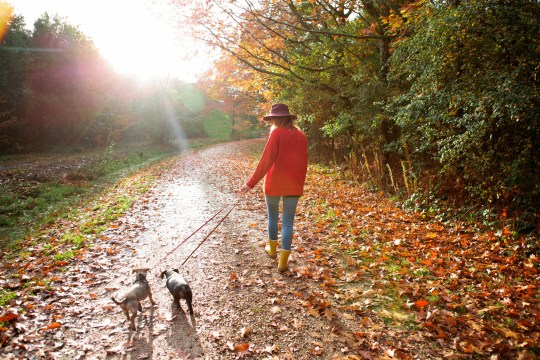 A young woman walking her dogs in an autumn woodland.